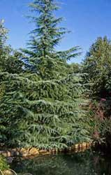 An image of the deodar cedar, for which image no photographer or artist was given