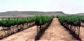 Photo of a vineyard in Israel (unidentified location and photographer)