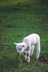 A photograph of a little lamb (no photographer or other information is given)