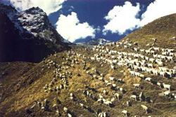 A photograph of intermingled sheep and goats by Nir Halman in the valley outside Sangla on the Kinnaur Kailas Circuit in India